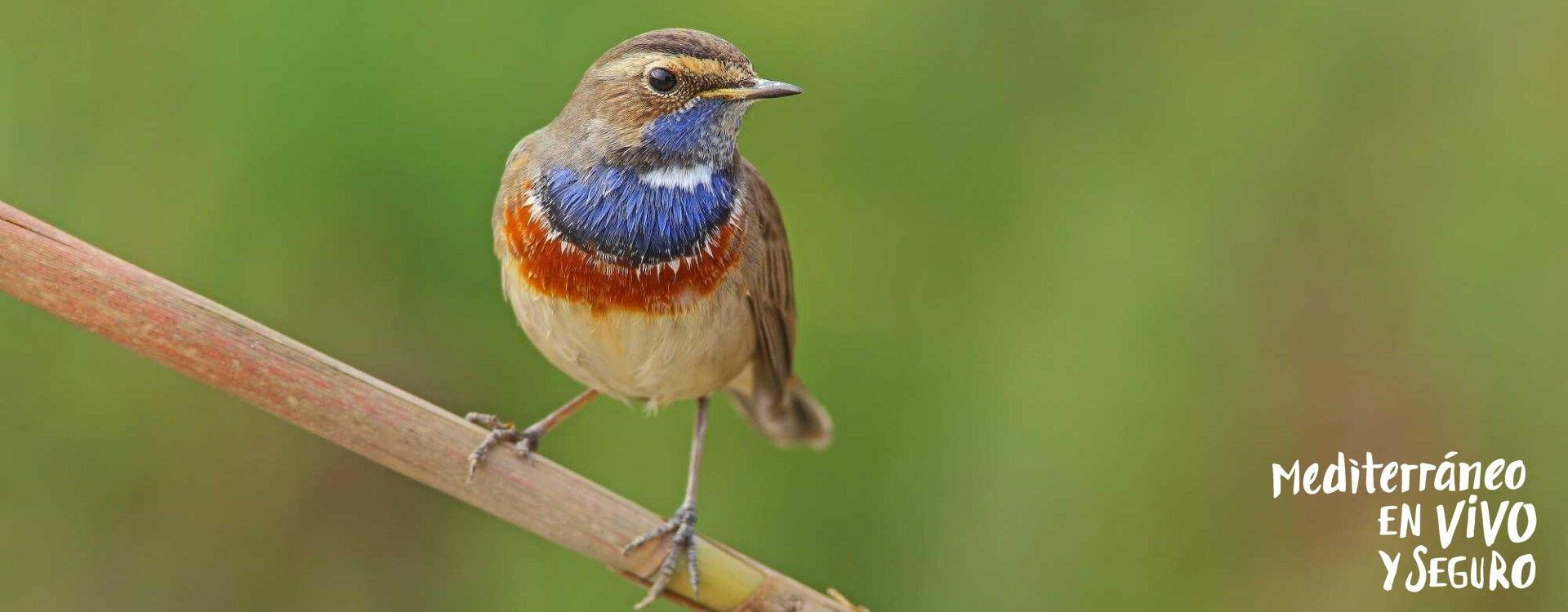 Image of a Blue-breasted Nightingale